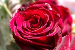 rose_rot